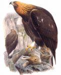 aigle.royal.jogo.0g.jpg